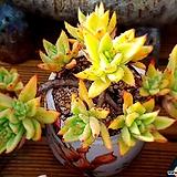긴잎적성 8두자연군생 Echeveria agavoides Akaihosi