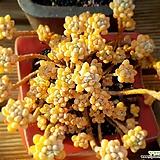 미크로칼릭스 한몸 Echeveria amoena Microcalyx