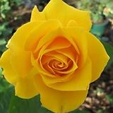 영국 사계장미 옐로우 단품♥사계절 꽃이 피고지는 장미꽃나무♥하이브리드티♥HT 사계 장미 장미꽃 장미나무 꽃나무 