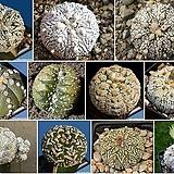 Astrophytum asterias,Japan cv Superkabuto (슈퍼투구믹스) 씨앗 10립|