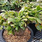 토오즈철화(에오니움 최고급종)-귀한품종 Aeonium canariense