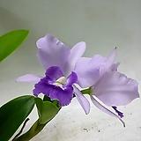 그랑블루 퍼플 카틀레아(꽃없음)