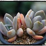 석연화 Pachyveria Pachyphytodies