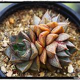 홍대화금군생(자연) Echeveria purpusorum