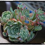 라즈베리아이스군생(자연) Echeveria Rasberry Ice
