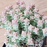 희성금 94|Crassula Rupestris variegata