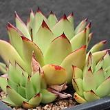 코데로이-6-5882|Echeveria agavoides v. Corderoyi