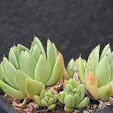 왁스-6-6517|Echeveria agavoides Wax