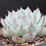 콜로라타-6-7266|Echeveria colorata