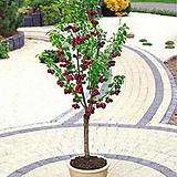 칵테일 체리나무 외목수형 자가수정♥한나무에 두품종 열매열려요♥라핀&스위트하트 