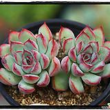 황홀한연꽃군생 Echeveria pulidonis