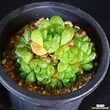 옵튜샤 2|Haworthia cymbiformis var. obtusa