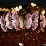 옥선 복랑 2|Haworthia truncata