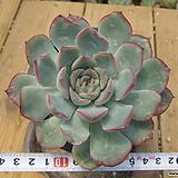 묵은 황홀한연꽃목대(중)-313|Echeveria pulidonis