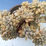 973 익스페트리아철화|Cremneria Expatriata f.cristata