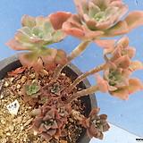 978 홍일산합식|Echeveria bicolor