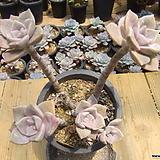 묵은 퍼플딜라이트(합식)-231|Graptopetalum Purple Delight