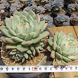 묵은 티피(자연군생/단단해요)-111|Echeveria Tippy