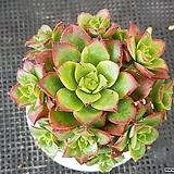 까라솔 Aeonium decorum f variegata