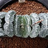 하워르티아 일반종 옥선(옥선 일굴천 5개) (no1)|Haworthia truncata