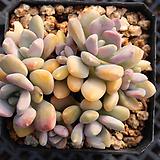 석연화 8053 Pachyveria Pachyphytodies