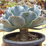 묵은 바네사hy(중/목대굵어요)|Echeveria sp (Vanessa)
