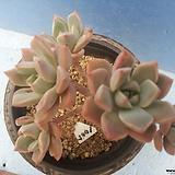 1005 핑크프리티한몸|Echeveria Pretty in  Pink