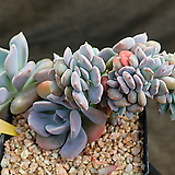 데비철화 428|Graptoveria Debbie