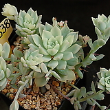 리틀장미금 638|Echeveria prolifica