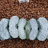 하워르티아 일반종 옥선 (옥선 사락 5개)|Haworthia truncata