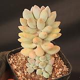 베이비핑거 229046|Pachyphytum Machucae (baby finger)