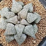 하워르티아 일반종 픽타(픽타 NO5 10개)|Haworthia picta