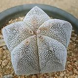온즈카06221|Astrophytum myriostigma cv. ONZUKA