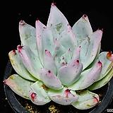 원종콜로라타35|Echeveria colorata