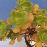 1025 홍매화한몸|Echeveria Multicalulis  Ginmei Tennyo