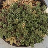1028 희성미인|Pachyphytum oviferum