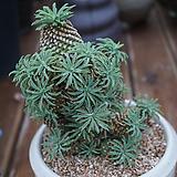 묵은괴마옥|Euphorbia hypogaea