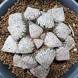 하워르티아 일반종 픽타(핑크픽타(a) 5립)|Haworthia picta