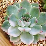 치와와엔시스금06238|Eeveria chihuahuaensis