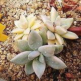 담설금06237|Graptopetalum Paraguayensis Awayuki