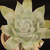 두들레야브리트니239174|DUDLEYA pulverulenta