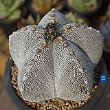 사이즈좋은온즈카|Astrophytum myriostigma cv. ONZUKA