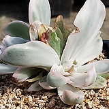 버클리금 8406-7360|Echeveria Berkeley Light
