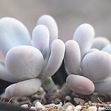 문스톤 자연군생 1-3455|Pachyphytum Oviferum Moon Stone