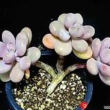아메치스77|Graptopetalum amethystinum