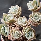 러블리로즈 자연군생 한몸|Lovely Rose