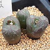 코노피튬 일반종 마니어리아눔 씨앗 5립 (CS24)|Conophytum