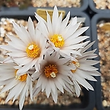 발데지아나 수입 씨앗 5립(흰꽃)|