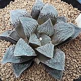하워르티아 일반종 피그마에아 씨앗 5립 (HS148)|Haworthia pygmaea