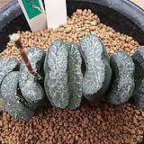 하워르티아 일반종 옥선 씨앗 5립 (HS149)|Haworthia truncata